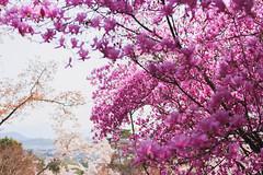 嵐山 京都 (KaguraYanki) Tags: canon650d kyoto arashiyama kameoka sakura cherryblossom spring japan 京都 日本 櫻花 七谷川 嵐山 渡月橋 ソメイヨシノ 染井吉野櫻