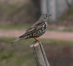 p1200791 (claudiopoli) Tags: animali animalia chordata aves passeriformes turdidae turdus viscivorus tordela autouploadfilenamep1200791jpg