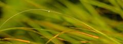 18-09-04 tröp gras well sonauf bok _dsc0178 (ulrich kracke (many thanks for more than 1 Mill vi) Tags: abstrakt bokeh bookmark d2 dynamik gras grünewelle halm japanisch nah sh1 sonnenaufgang struktur tröp