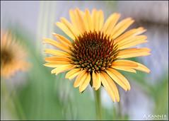 Yellow Coneflower... (angelakanner) Tags: canon70d lensbaby sol45 garden longisland coneflower yellow summer closeup bokeh 37
