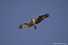 Falco Pescatore _001 (Rolando CRINITI) Tags: falcopescatore uccelli uccello birds ornitologia rapaci fiumeentella chiavari natura
