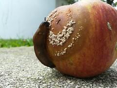 Schnecke mit Obsthunger (shortscale) Tags: apfel schnecke