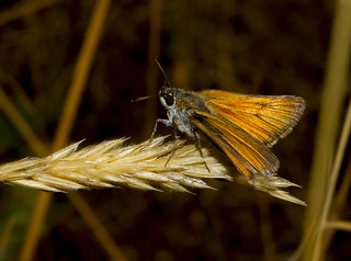 Small Skipper (Thymelicus sylvestris) (Explored)