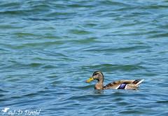 La vie en bleu de Mme Colvert (Jean-Daniel David) Tags: réservenaturelle nature oiseau oiseaudeau canard colvert cane eau bleu reflet suisse suisseromande vaud yverdonlesbains l lac lacdeneuchâtel