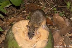 Leopoldamys sabanus (Long-tailed Gient Rat) (GeeC) Tags: animalia cambodia chordata kohkongprovince leopoldamys leopoldamyssabanus longtailedgiantrat mammalia muridae murinae myomorpha nature ratsandmice rodentia tatai