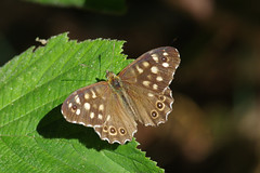 IMGP9762c Speckled Wood, Gamlingay Wood, September 2018 (bobchappell55) Tags: wild wildlife insect nature cambridgeshire butterfly speckledwood v gamlingaywood