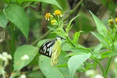 IMG_6146 (mohandep) Tags: hessarghatta lakes karnataka butterflies birding nature wildlife insects signs food