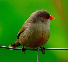 The Common Waxbill (Estrilda astrild) (dzittin) Tags: the common waxbill estrilda astrild small finchlike bird red face hawaii