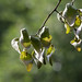 Firmania platanifolia