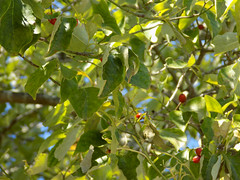 Leaves. (dccradio) Tags: lumberton nc northcarolina robesoncounty outdoor outdoors outside september wednesday morning goodmorning earlyfall earlyautumn latesummer berry berries leaf leaves sky bluesky nature natural tree trees foliage greenery fruit nikon coolpix l340 bridgecamera