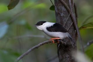 White-bearded Manakin (Manacus manacus) - male