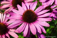 Pink (stedanphotography) Tags: flower nikon d3300 macro