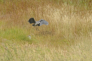 Starting Grey Heron in the salt meadows near Cuxhaven