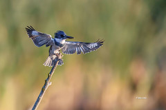 Belted Kingfisher (Mike Veltri) Tags: kingfisher beltedkingfisher birds avian birdsinflight nature wild burlington canada