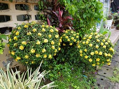 Yellow roses - not (SierraSunrise) Tags: esarn fake flowers isaan nongkhai ornamentals phonphisai plants shrubs thailand