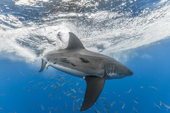 Spin Cycle (George Probst) Tags: shark underwater wildlife mexico greatwhiteshark
