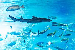 Diver in Sagami Bay big tank in Enoshima Aquarium, Fujisawa : 相模湾大水槽にて(新江ノ島水族館) (Dakiny) Tags: 2018 summer august japan kanagawa fijisawa shonan shonancoast enoshima kataseenoshima park aquarium enoshimaaquarium nature creature animal fish bokeh nikon d750 sigma apo 70200mm f28 ex hsm apo70200mmf28dexhsm sigmaapo70200mmf28dexhsm