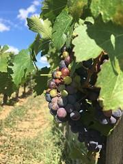 Grapes growing in the Château de Ferrand Vineyards! (Pdudleyvfx) Tags: bordeaux france green bluesky wine vinyard grapes châteaudeferrand saintemillion