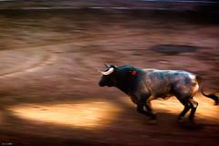 Escogido (Carpetovetón) Tags: toros corrida corridadetoros bilbao vistaalegre plazadetoros miuras escogido albero cárdeno barrido sonya6000 españa