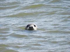 Curious Seal, Newburgh Sands, Aberdeenshire, Aug 2018 (allanmaciver) Tags: seal newburgh sands water curious animal look scotland east coast aberdeenshire nature reserve allanmaciver