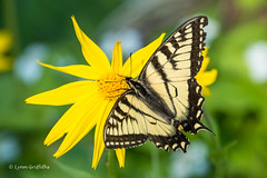 Tiger Swallowtail 501_1501.jpg (Mobile Lynn) Tags: nature butterfly insects fauna insect wildlife jasper alberta canada ca coth ngc coth5 npc