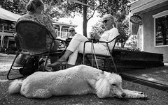 standard poodle (vhines200) Tags: newmexico 2018 taos poodle dog women knitting