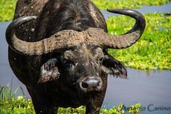 Tanzania(41) (canino.antonio) Tags: nature lakemanyara safari d800 nikon tanzania