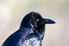 376A9541 (bon97900) Tags: 2018 australianraven birds gluepot2526thaug2018 gluepotreserve rivermurray riverland southaustralia