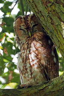 tawny owl (Explore)