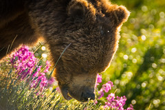 Closeup of grizzly bear feeding on flowers (tvrdypavel) Tags: alberta animal banff bear big brown canada closeup color cute details eat evening feed female fierce food fur furry golden grass green greenery grizzly hour large little look mammal mother national nature outdoors park size small wild wildlife yukon