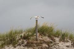 Dune grasses (j shew) Tags: islandbeachstatepark beachgrass sanddune jersey shore