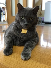 Waiting for Naomi (sjrankin) Tags: 4september2018 edited animal cat floor livingroom kitahiroshima hokkaido japan closeup yuba