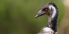 DSC_6271.jpg (David Hamments) Tags: victoria transaustraliatrip3 transoztrip3 emu littledesertnationalpark flickrunitedaward