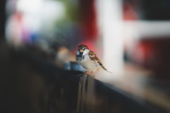 Little Sparrow (der_peste (on/off)) Tags: bird sparrow bokeh dof macro proxy nature animal blur