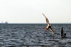 πτερό (bezkaski1) Tags: ptero bird sea azov summer august ship horizon cry fight noise dispute ukraine berdiansk spit reserve азовское море бердянск дальняя коса украина
