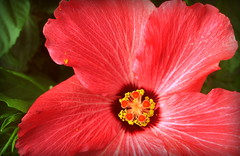 Hibiscus (timetomakethepasta) Tags: hibiscus flower pink rosemallow nature outdoors stamen pedal anther filament pistil stigma style pollen