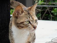 cat 68 (8pl) Tags: chat portrait portraitdechat taïwan tigré shihtiping extérieur regard tête animal félin cat 石梯坪