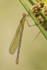 Lestes sponsa (Pipa Terrer) Tags: lestessponsa odonata lestidae zigoptera serraniadecuenca insecta invertebrados caballitodeldiablo qddblauverd2018