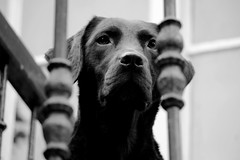Queen (Denise Vuurens) Tags: dog bw hond zwartwit black white grey lines portrait animal nature pet cute powerful blackwhite
