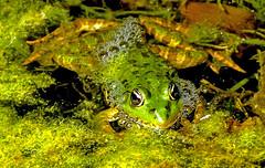 Grenouille verte (Diegojack) Tags: vaud suisse yverdonlesbains d500 nikon nikonpassion champittet batracien grenouilles vertes grosplan