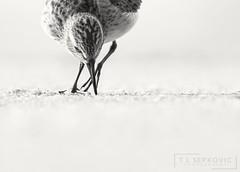 Least Sandpiper (T L Sepkovic) Tags: leastsandpiper sandpiper shorebird peeps wildlifephotography creativewildlife canon 5dmkiv blackandwhite bw blackwhite monochrome