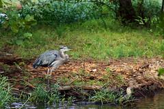 Great Blue Heron (brandon_gerringer) Tags: greatblueheron heron bird birdphotography nature naturephotography wildlife wildlifephotography canon urban ardeaherodias