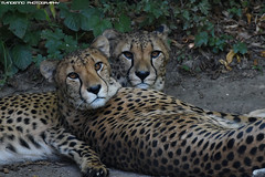 Two Cheetahs - Zoo Amneville (Mandenno photography) Tags: animal animals cat bigcat big cheetah ngc nature dierenpark dierentuin dieren amneville zoo zooamneville frankrijk france