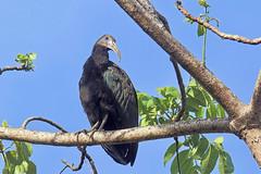 Mesembrinibis cayennensis (mazama973) Tags: bird oiseau frenchguiana guyane guyanefrançaise threskiornithidés mesembrinibiscayennensis ibisvert greenibis