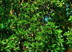 Just because... (elphweb) Tags: hdr highdynamicrange nsw australia tree trees forest bush leaves foliage green blue verdant