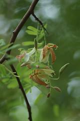 Tamarindus indica (greggys stuff) Tags: tamarindusindica plantasia swansea uk