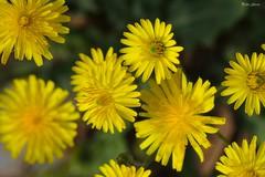 Yellow flowers (Peideluo) Tags: flowers yellow nature colors garden flores flor nikon d7100 macrofotografía