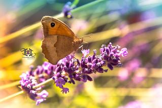 Butterfly and lavender / Papillon et lavande
