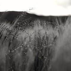 Field (Stefano Rugolo) Tags: stefanorugolo pentax k5 pentaxk5 smcpentaxm50mmf17 ricohimaging bokeh wheat depthoffield manualfocuslens manualfocus field drops monochrome blackandwhite pov vintagelens primelens pentaxprime lazio italy archive 2015 manual