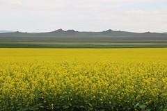 GOBI - ON THE ROAD (mauro gambini) Tags: mongolia gobi rapeseed colza
